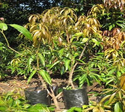 Images of Mango Plant Produces Mango Tree Plants